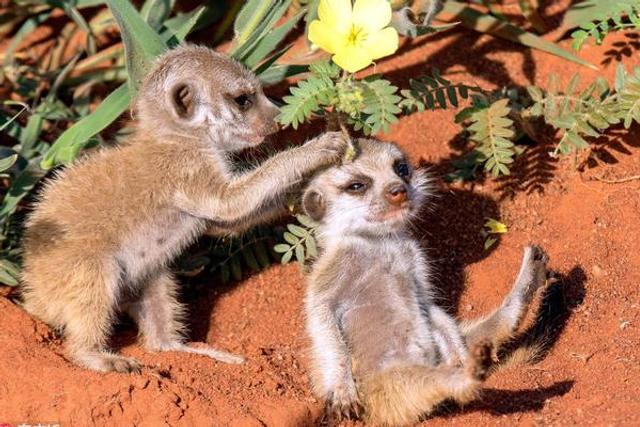 猫鼬宝宝给好朋友头戴鲜花