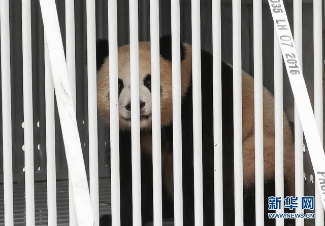 """中国大熊猫""""梦梦""""""""娇庆""""抵达柏林"""